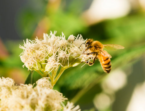 Miele e apine